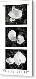 Calla Lilies Vertical With Title Acrylic Print
