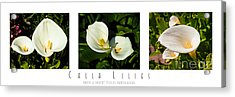Calla Lilly Color Triptych Acrylic Print