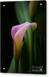 Calla Lilly Acrylic Print by Rima Biswas