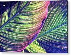 Calla Lily 1 Acrylic Print