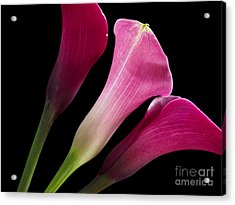 Calla Lily -13 Acrylic Print by Valerie Morrison