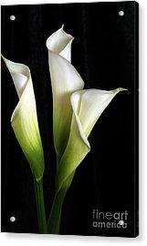 Calla Lily Flower Trio  Acrylic Print