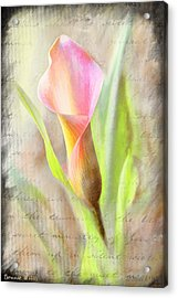 Calla Lily In Pink Acrylic Print