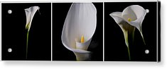Calla Lily Acrylic Print by Lana Enderle
