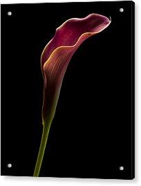 Calla Profile Acrylic Print by Jean Noren
