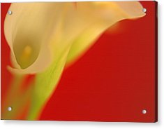 Callas On Red Acrylic Print by Bruce Rolff