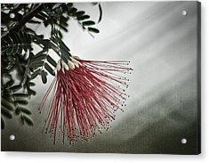 Calliandra Californica Acrylic Print
