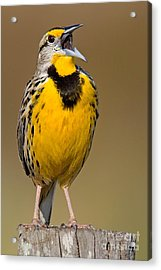 Calling Eastern Meadowlark Acrylic Print by Jerry Fornarotto