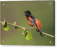 Acrylic Print featuring the photograph Calling Orchard Oriole by Daniel Behm