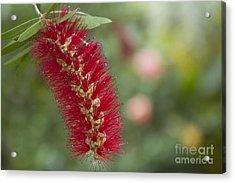 Callistemon Citrinus - Crimson Bottlebrush Acrylic Print by Sharon Mau