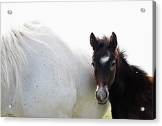 Camargue Horse And Foal Acrylic Print