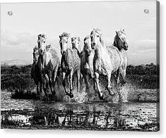 Camargue Horses At The Gallop Bw Acrylic Print