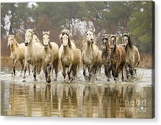 Camargue Horses At The Gallop Acrylic Print