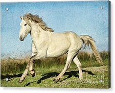 Camargue Stallion Acrylic Print