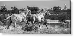 Camargue Stallions Acrylic Print by Heather Swan
