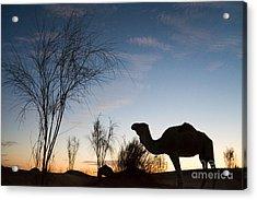 Camel Sunset Acrylic Print