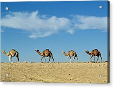 Camel Train Acrylic Print by Anonymous