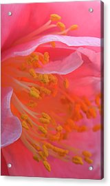 Camellia Flower Close-up Acrylic Print by Jaynes Gallery