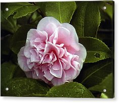 Acrylic Print featuring the photograph Camellia In Rain by Patrick Morgan
