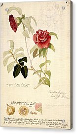 Camellia Japonica, 18th Century Artwork Acrylic Print
