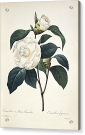 Camellia Japonica, 19th Century Acrylic Print