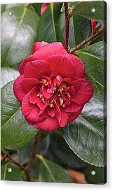 Camellia Japonica 'dobreei' Acrylic Print by Geoff Kidd