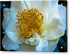 Acrylic Print featuring the photograph Camellia by Julie Andel
