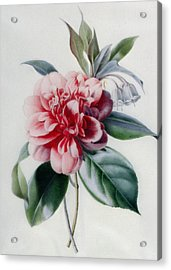 Camellia Acrylic Print by Marie-Anne