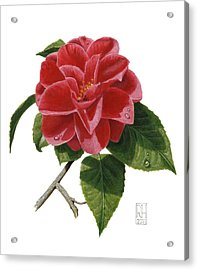 Camellia Acrylic Print by Richard Harpum