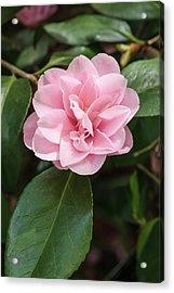 Camellia Sasanqua 'peach Blossom' Acrylic Print by Geoff Kidd