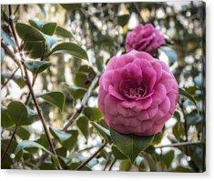 Camellia Sparkle Acrylic Print by Loree Johnson