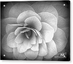 Camellia Study Acrylic Print by Geri Glavis