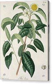 Camellia Thea Acrylic Print