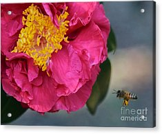 Camellia With Bee Acrylic Print by Carol Groenen