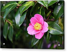 Camellia X Williamsii 'golden Spangles' Acrylic Print by Geoff Kidd/science Photo Library