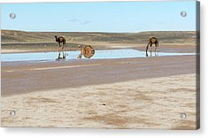 Camels And Drying Saharan Lake Acrylic Print by Thierry Berrod, Mona Lisa Production