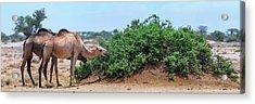 Camels Eating Salt Cedar Acrylic Print