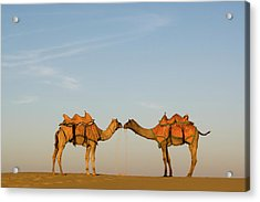 Camels Stand Face To Face In The Thar Acrylic Print