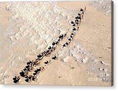 Camels Walking In Desert Acrylic Print