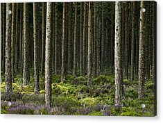Camore Wood Scotland Acrylic Print by Sally Ross