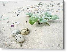 Camouflaged Caspian Tern Nest Acrylic Print by Peter Chadwick