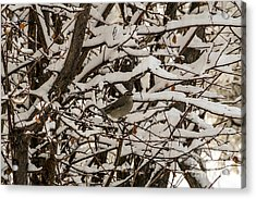 Camouflaged Thrush Acrylic Print by Sue Smith