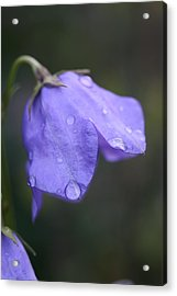 Campanula After The Rain Acrylic Print by Mark Severn