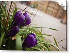 Acrylic Print featuring the photograph Campus Crocus by Erin Kohlenberg