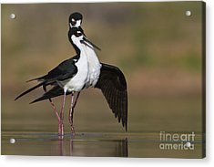 Acrylic Print featuring the photograph Can I Have This Dance by Bryan Keil