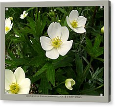 Canada Anemone - Anemone Canadensis - 11jn26 Acrylic Print by Robert G Mears