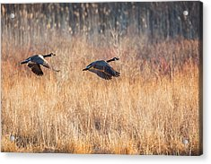 Canada Geese Acrylic Print by Bill Wakeley