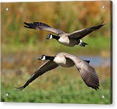 Canada Geese Flying Acrylic Print
