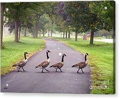 Canada Geese Four In A Row Acrylic Print