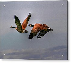 Canada Geese In Flight Acrylic Print by Larry Trupp